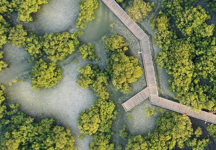Drone photo showing how the boardwalk is subtly integrated between the mangroves